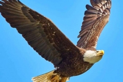 Eagle-Wingspan
