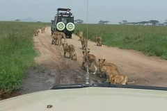 Lions-Following-Truck